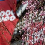 上田城跡公園の桜が咲き始めた (長野県上田市)